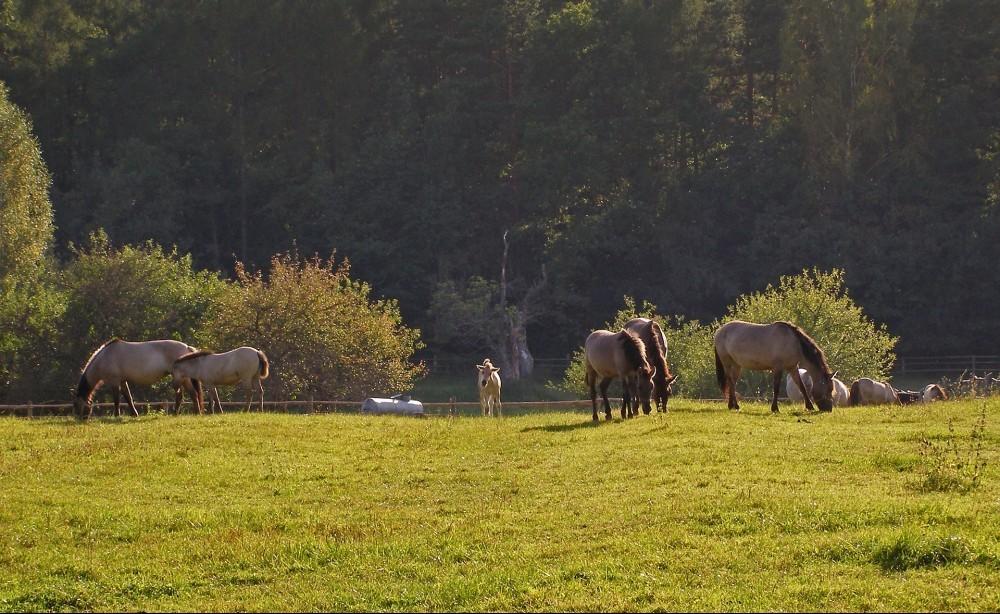 Roztocze Polish Pony